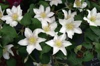 Clematis KITTY Evipo097